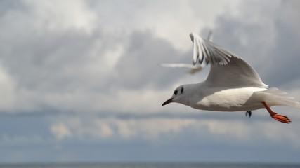 Mewa,Ptaki