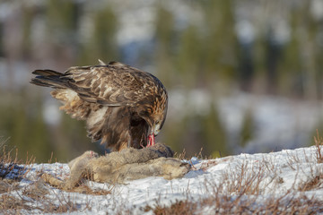 Golden eagle scavenging from a roe deer carcass