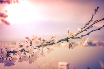 vintage beautifully cherry blossom