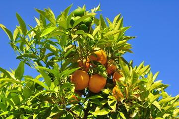 Zitronenbaum am Gardasee Limone