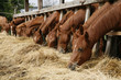Herd of horses eating dry hay in summertime rural scene
