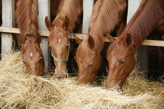 Young purebred foals sharing hay on horse farm