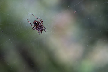 Spider hanging on Web after rain