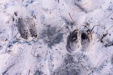 Deer tracks on forest sand in Phu Kradueng national park, Loei Thailand.