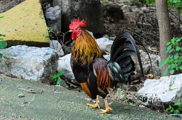 Chicken  Fighting chicken.