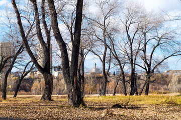 The trunk of a poplar in autumn Park. Russia, Siberia