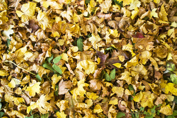 texture of yellow fallen leaves