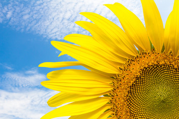 Close up sunflower and blue sky