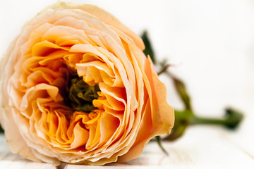 peach roses on white wooden background. flowers