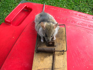 Dead rat caught in a wooden mouse trap on top of a red bin.