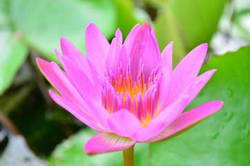 Search photos facts lotus flower pink lotus flower mightylinksfo