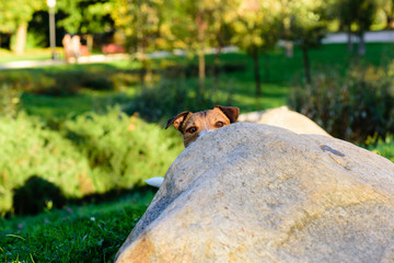 Dog hiding behind a stone playing hide-and-seek