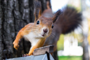 Photo sur Aluminium Squirrel squirrel