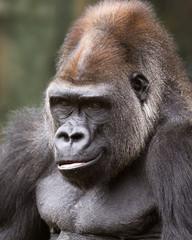 portrait of a silver-back gorilla smirking