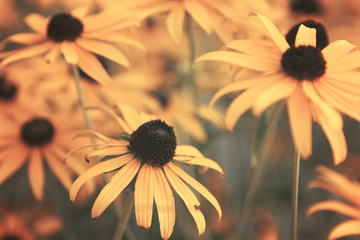 Black Eyed Susan Flowers