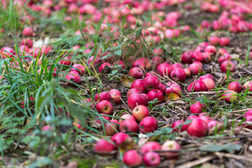 Apples fallen on the ground in orchard