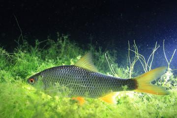 fish, roach, underwater photo