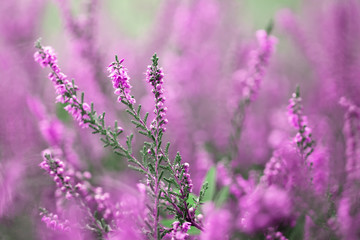 Beautiful blurry autumn heather flowers background. Selective focus used.