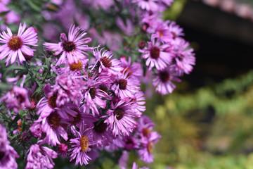 fiori viola rosa macro aiuola
