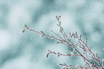 A late spring snow storm on a Coral Bark Japanese Maple tree branch.
