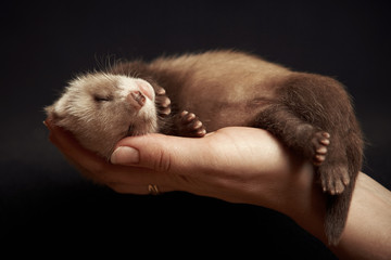 Ferret baby in hand Wall mural