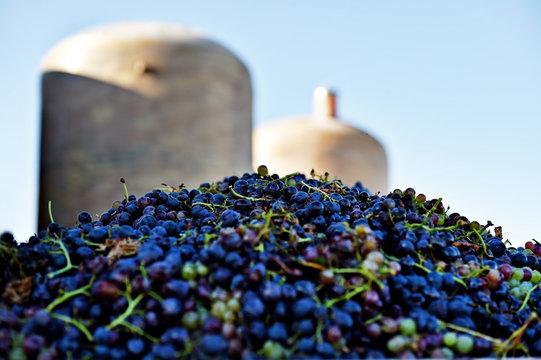 Industrial grape harvest