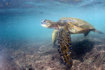 green turtle underwater close up near the shore