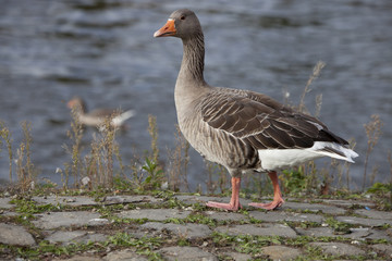portrait of a greylag goose  (Anser anser)  in front of a river