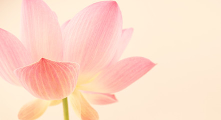 Wall Murals Lotus flower sweet pink lotus in soft and blur style for background