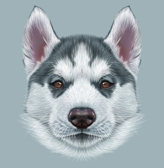 Illustrative Portrait of Husky Puppy. Cute portrait of young grey bi-colour dog with brown eyes.