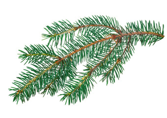 blue small isolated fir branch