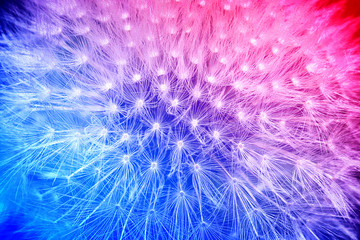 Tender cyan and pink gradient with dandelion flower macro high contrasted with vignetting effect background