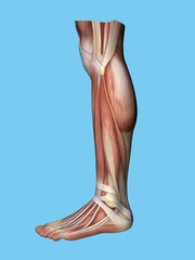 Anatomy lateral side view of leg and foot of a man including extensor digitorum brevis, achilles tendon, calf muscle, gastrocnemius muscle,soleus, peroneus longus and tendon tibalis anterior.