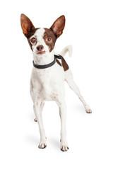 Blind Chihuahua Crossbreed Dog