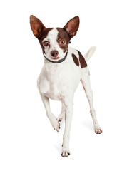 Chihuahua Dog With One Blind Eye