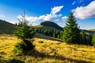 conifer forest  in mountains at sunrise