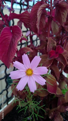 Cosmea In Vaso Stock Photo And Royalty Free Images On Fotoliacom