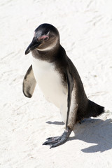 South African Penguin seen from above.
