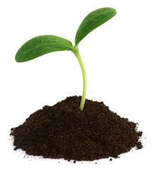 Pumpkin seedling on soil