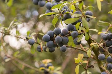 Blueberry / Blueberries
