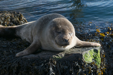 Cute gray seal taking a sunbath on rock