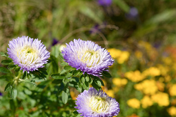 Purple, white and yellow Aster (asteraceae) flowers