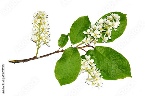 Branch Of Bird Cherry Tree Isolated On White Background