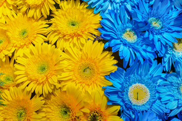 Fototapete - Blue and yellow gerbera flowers decoration, Madeira Flower Festival, Portugal