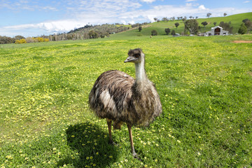 Australian emu basking in the beautiful Australian sunshine