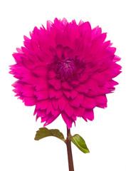 pink dahlia on a long stalk