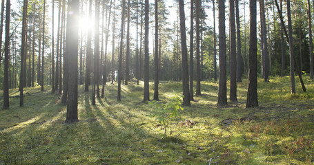 sunset in pine forest in summer