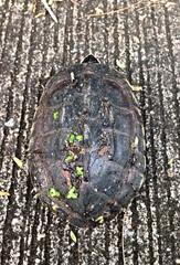 turtle walking slowly on street.