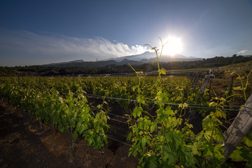 view of a vineyard with Etna volcano in the background Fototapete