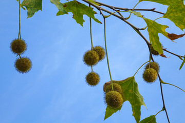 Agregate balls of the seeds of a plane tree